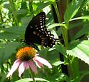 Spicebush Swallowtail? - Papilio troilus - male