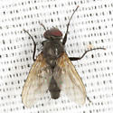 Blow Fly - Opsodexia grisea - female