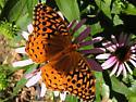 Butterfly - Speyeria cybele