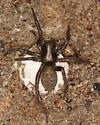 ground spider with egg sac - Gnaphosa - female
