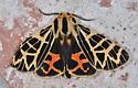 moth - Apantesis ornata