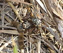 Robber Fly with Tiger Beetle - Proctacanthus