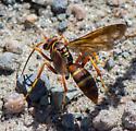 Wasp Species?