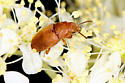 Beetle - Antherophagus ochraceus