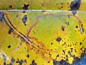 Red surface leaf mine - balsam poplar - Phyllocnistis populiella