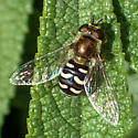 Eupeodes volucris female? - Eupeodes volucris - female
