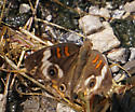 Common Buckeye (Junonia coenia) - Junonia coenia