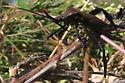mesquite bug? - Acanthocephala thomasi