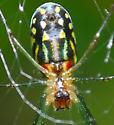 spider - Leucauge argyra