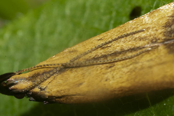 Moth - Dichomeris heriguronis