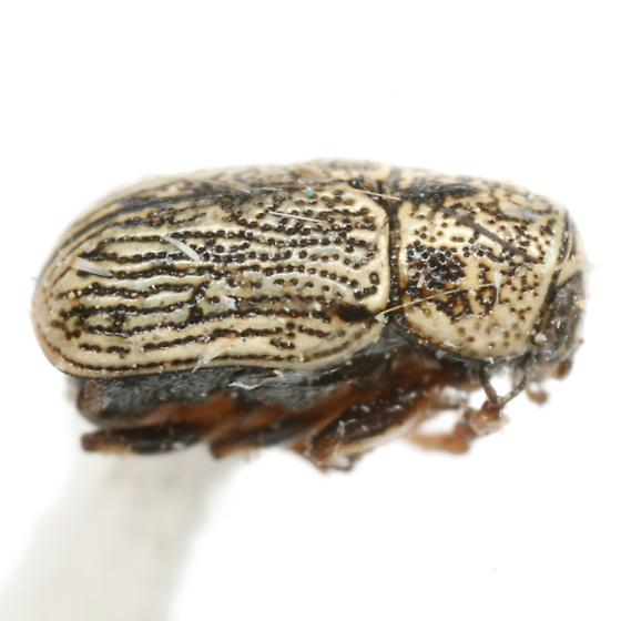 Pachybrachis caelatus LeConte - Pachybrachis caelatus