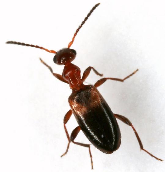 Ischyropalpus