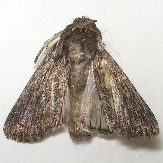 Adult  - Neogalea sunia