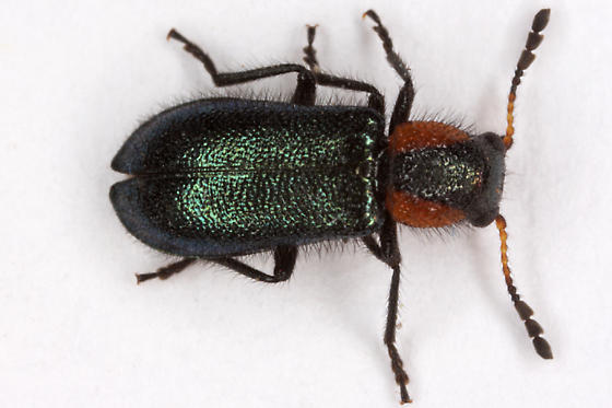 unknown beetle - Loedelia maculicollis