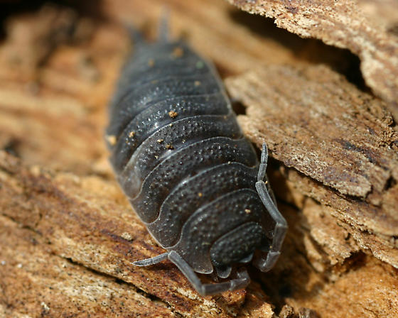 Sow Bug - Porcellio scaber