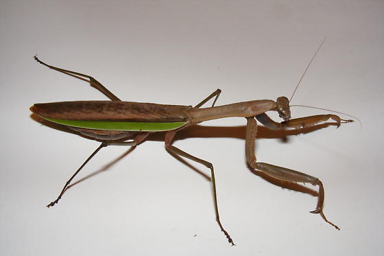 Chinese Praying Mantis - Tenodera sinensis - female