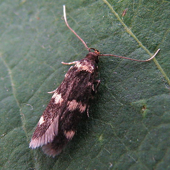 Oegoconia quadripuncta - Oegoconia deauratella