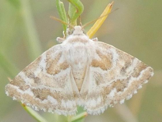 Fringed Moth - Schinia acutilinea
