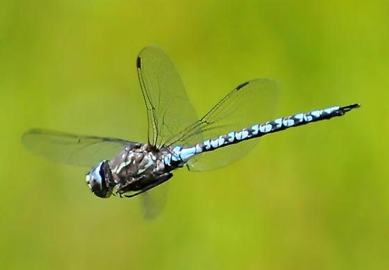 Zig Zag Darner in flight #2 - Aeshna sitchensis - male