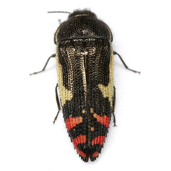 Acmaeodera chiricahuae Barr - Acmaeodera chiricahuae