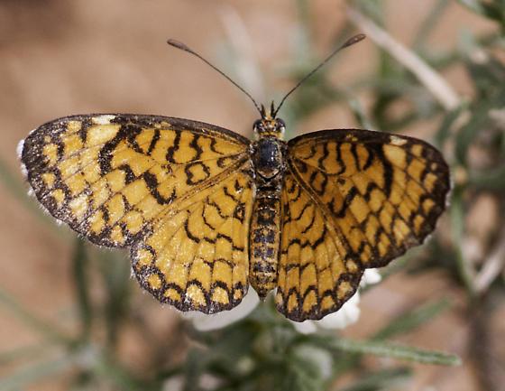 dymas? dorsal - Microtia dymas - female
