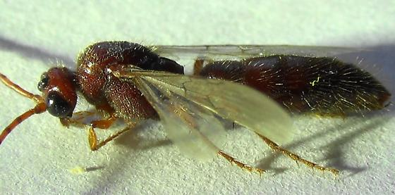 2nd Tiphiid Wasp (lateral) - Colocistis crassa - male