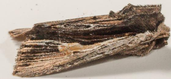 Moth to porch light  - Morrisonia evicta