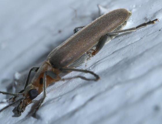Reddish, hairy beetle with a few black marks - Oxacis trirossi