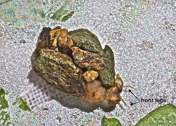Glossosomatidae