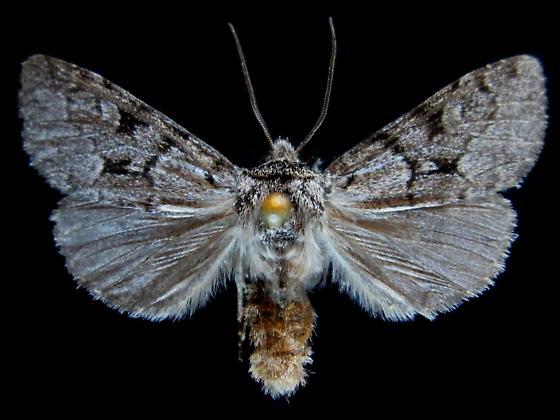 Lasionycta conjugata