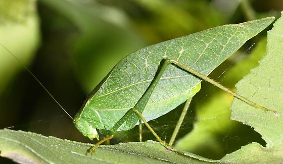 Which Katydid ? - Microcentrum - female