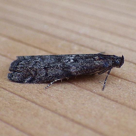 Pyralidae: Pyla fusca?