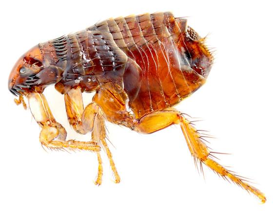 Cat flea? - Ctenocephalides felis