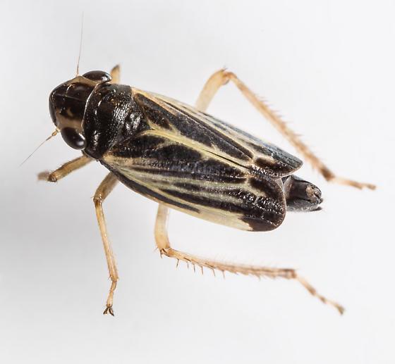 Evacanthus nigramericanus - male