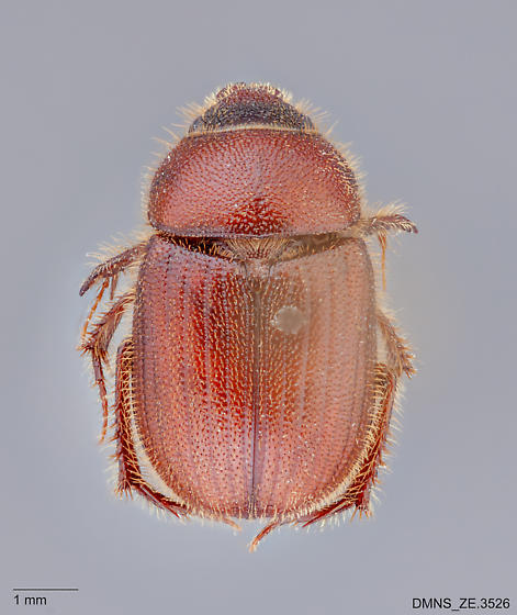 Parochodaeus_pectoralis_ZE.3526_dorsal - Parochodaeus pectoralis