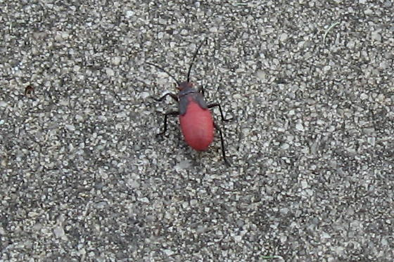What is this red and black bug?