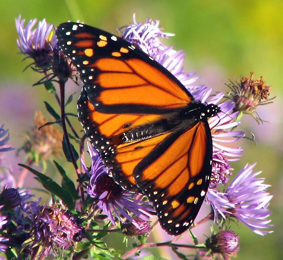 Monarch Butterfly. - Danaus plexippus