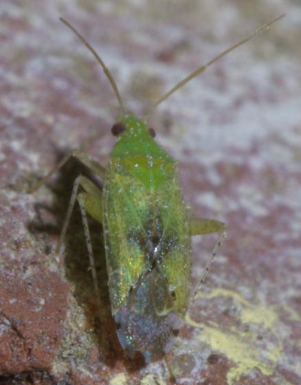 Green plant bug with spots - Keltonia tuckeri