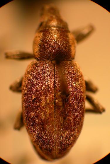 Unknown Entiminae - Trichalophus