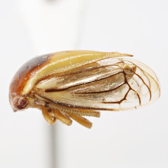 Acutalis tartarea (Say) - Acutalis tartarea