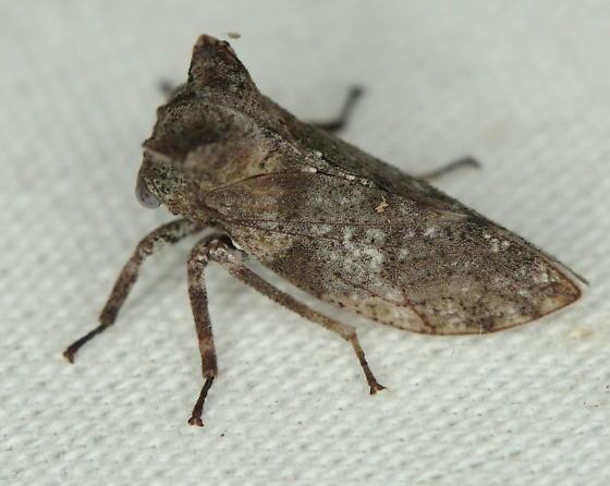 Microcentrus sp. - Microcentrus perditus
