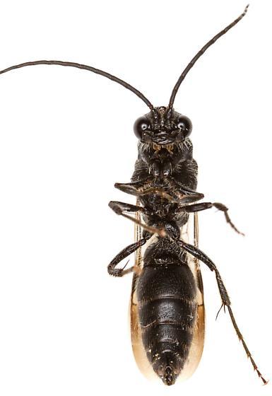 Male wasp? - Colocistis castanea - male