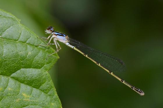 Fragile Forktail, juvenile female - Ischnura posita - female