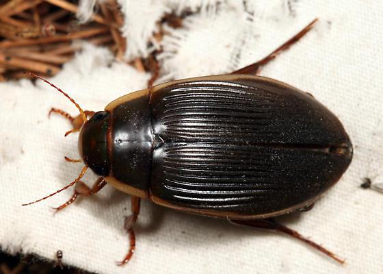 Understriped Diving Beetle - Dytiscus fasciventris - female