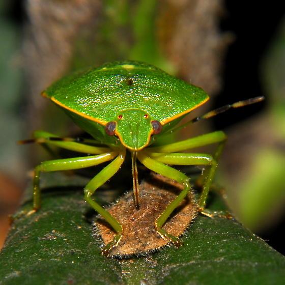 Green Stink Bug (Chinavia hilaris)? - Chinavia hilaris