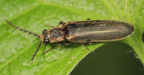 Click beetle(?) - Denticollis denticornis