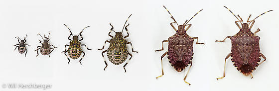 Life Stages - second instar to adult - Halyomorpha halys - male - female
