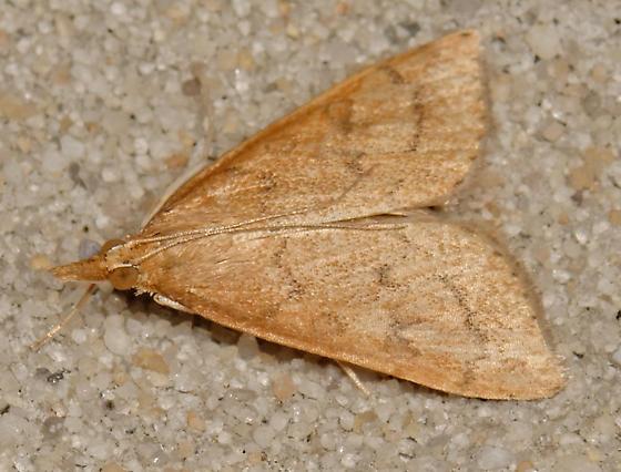 Celery Leaftier Moth? - Udea rubigalis