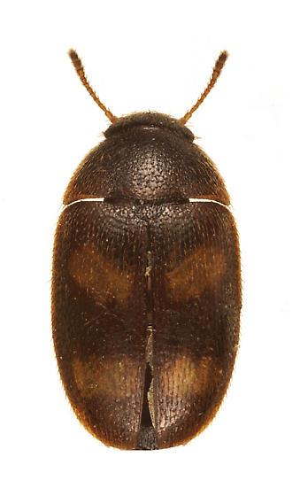 Litargus species - Litargus tetraspilotus