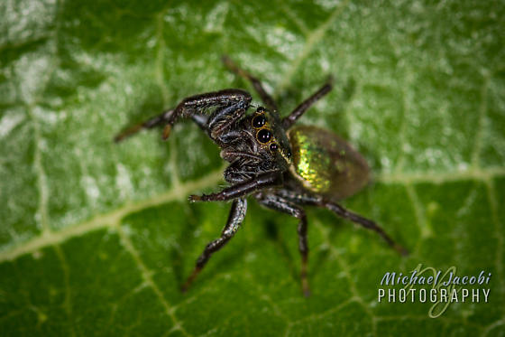 Messua limbata (adult female) Jumping Spider - Cave Creek Canyon - Messua limbata - female